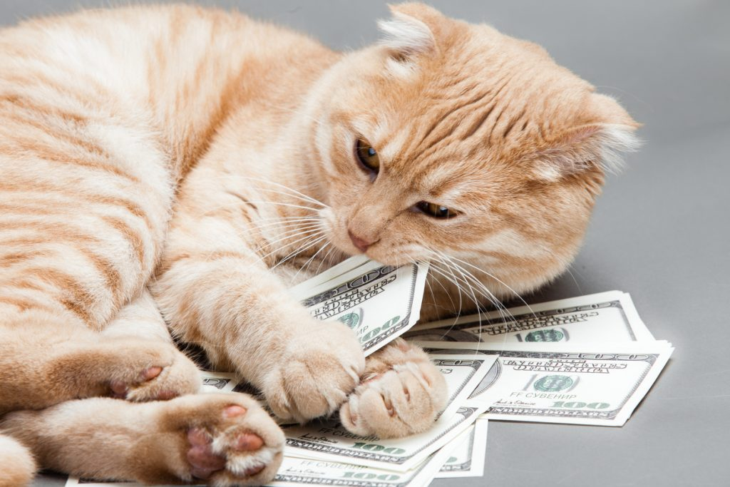 An orange cat chewing on one hundred dollar bills